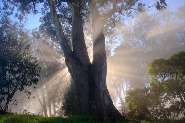 Eukalyptusbaum im Nebel mit Sonnenstrahlen