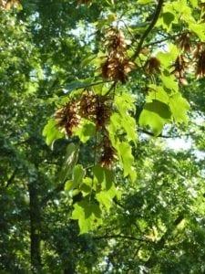Ahorn Blätter mit geflügelten Nüsschen - Baum der Freiheit