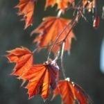 Ahorn Blätter im Herbst - Baum der Freiheit