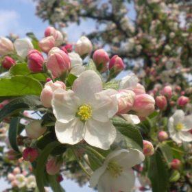 Apfelbaum mit Blüten - Baum der Liebe