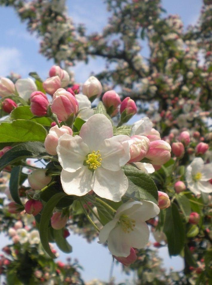 23.12.-01.01. Apfelbaum: Hochzeitsbaum der Liebe