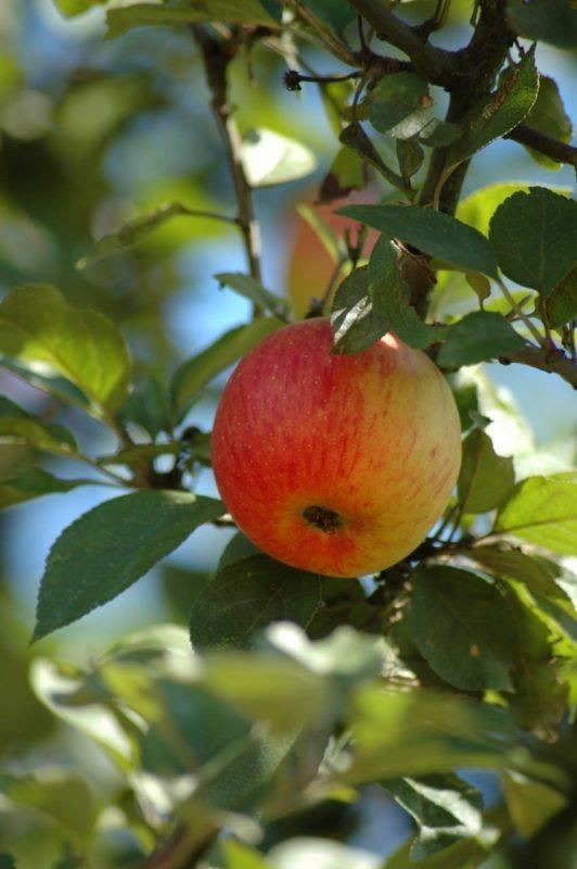 Apfelbaum mit Frucht - Baum der Liebe