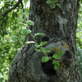 Apfelbaum Stamm und Rinde - Baum der Liebe