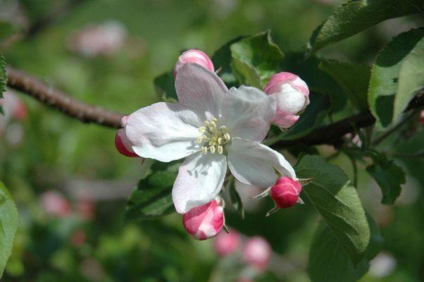 Apfelbaum Blüte - Baum der Liebe