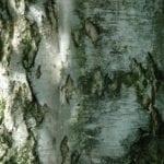 Birke Stamm und Rinde - Baum des Lichts
