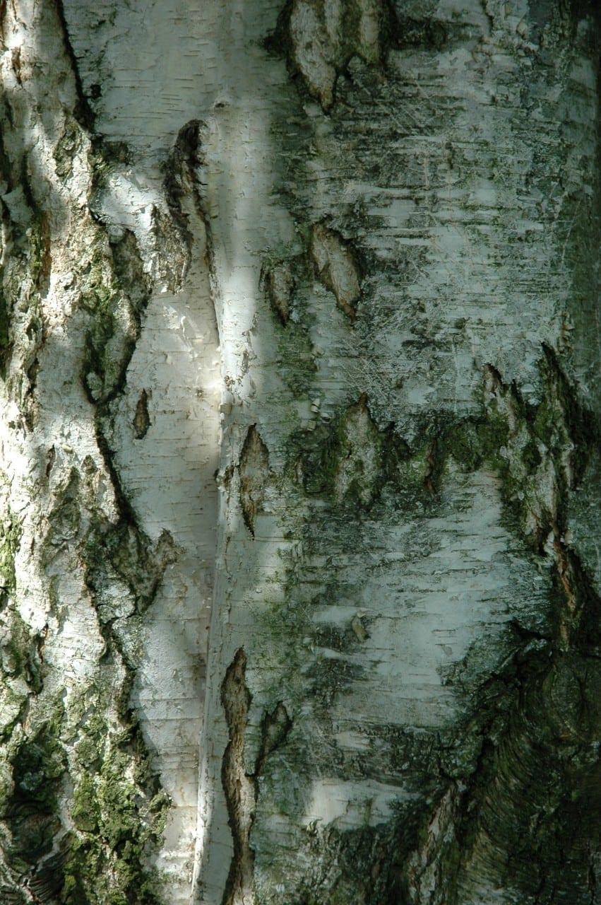 24.06. Birke: Hochzeitsbaum des Lichts