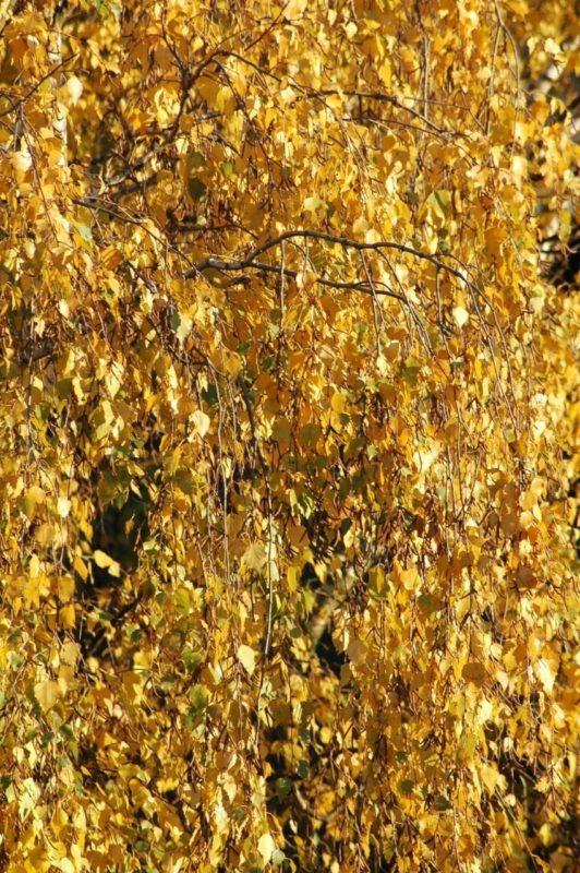 Birke Blätter im Herbst - Baum des Lichts
