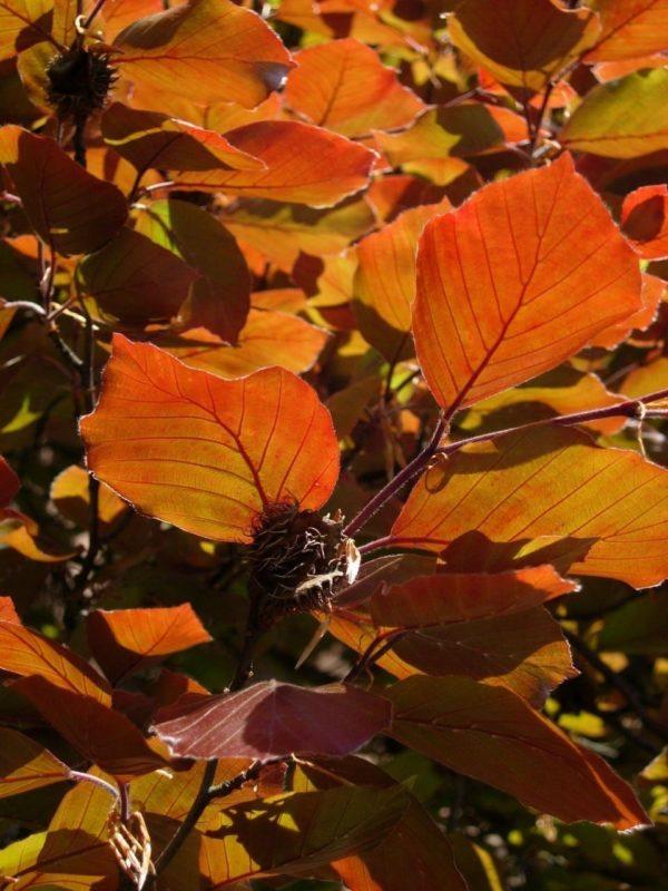 Buche Blätter - Baum der Intuition