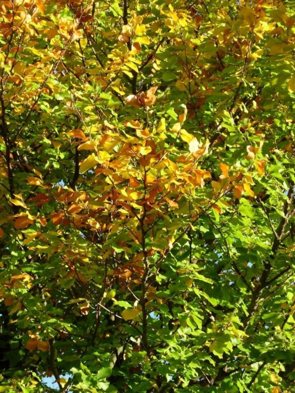 Buche Blätter im Herbst - Baum der Intuition