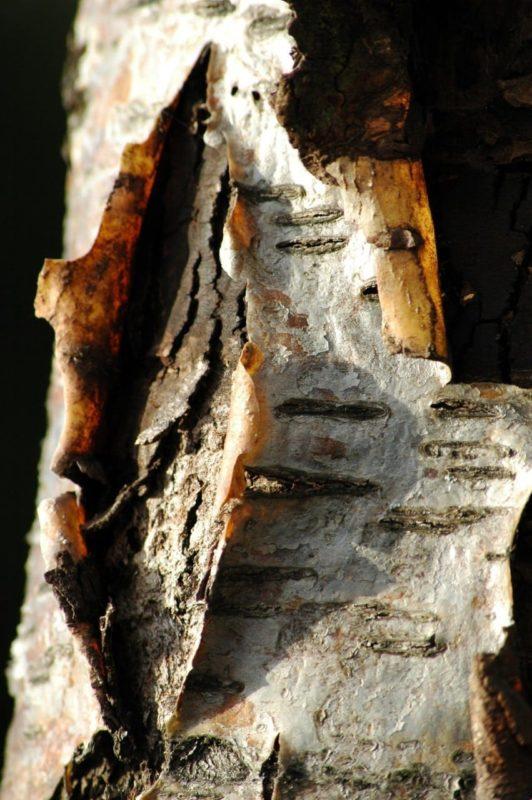 Rinde der Eberesche - Baum der Lebensfreude