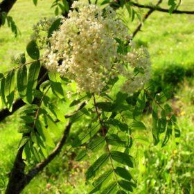 Blühende Eberesche - Baum der Lebensfreude
