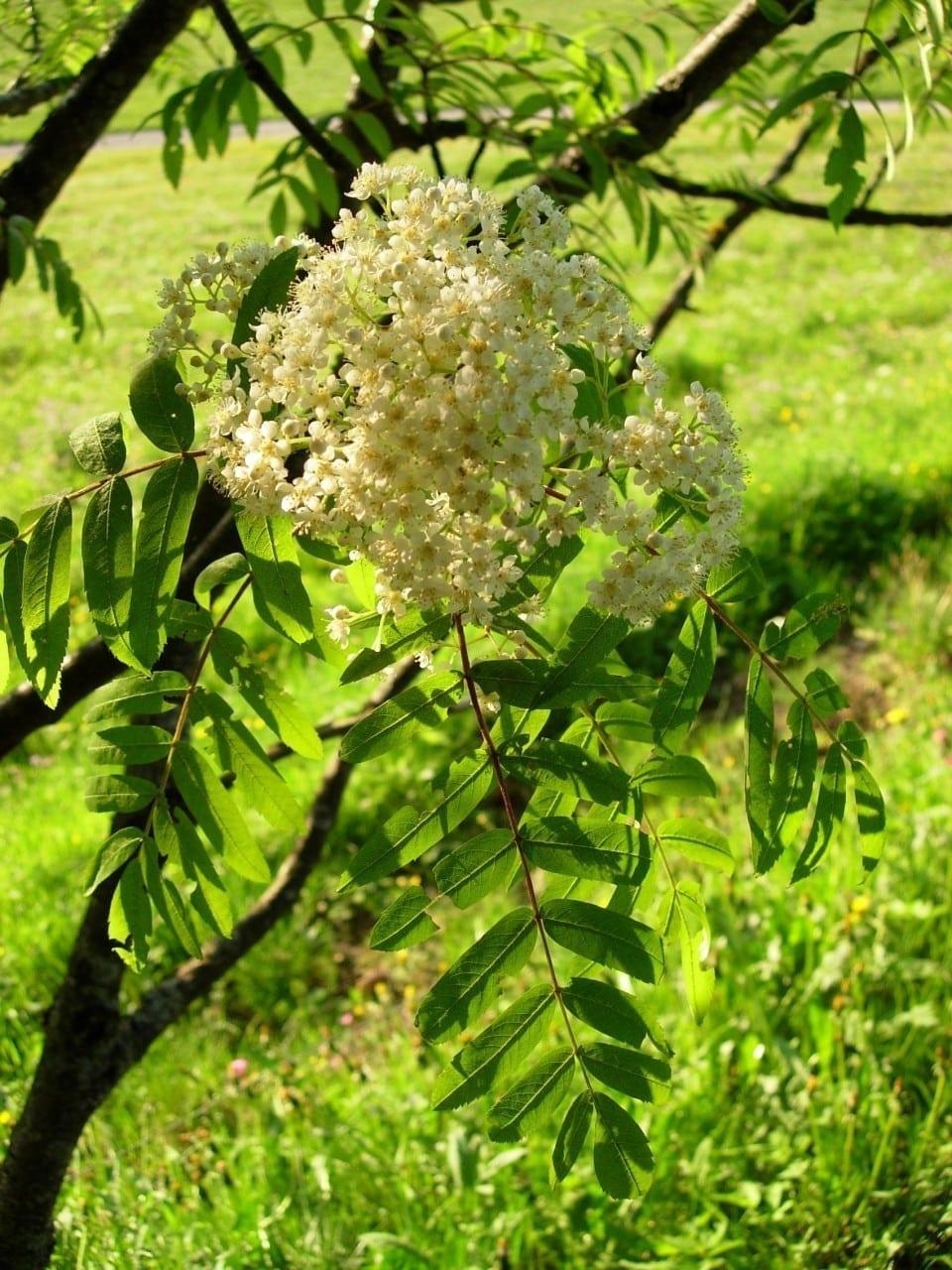 04.10.-13.10. Eberesche: Hochzeitsbaum der Lebensfreude