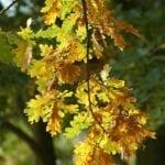 Eiche Blätter - Baum der Stärke