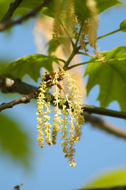Eiche Blüten - Baum der Stärke