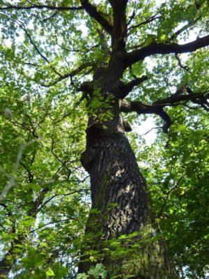 eiche baum der st rke lebensbaum geburtstag taufe hochzeit baumkreis. Black Bedroom Furniture Sets. Home Design Ideas