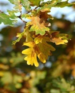 Blätter der Eiche