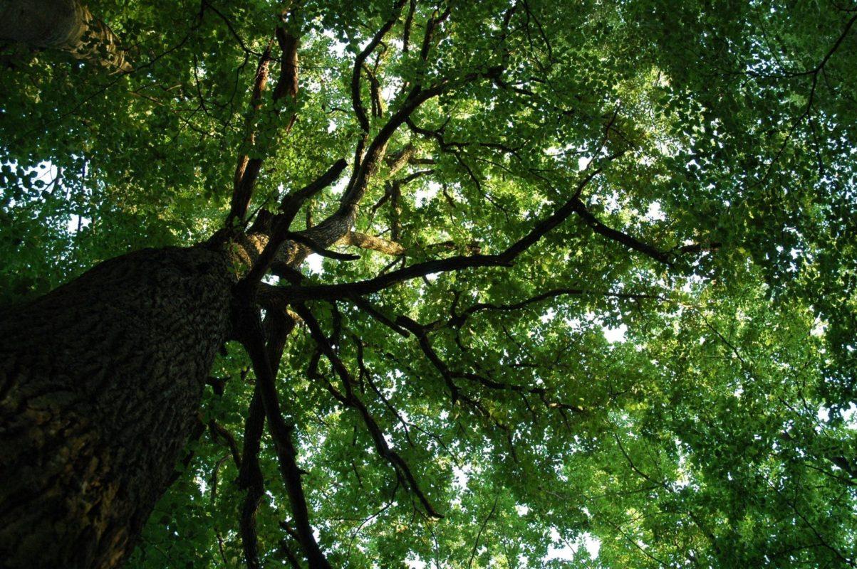 Eiche - Baum der Stärke