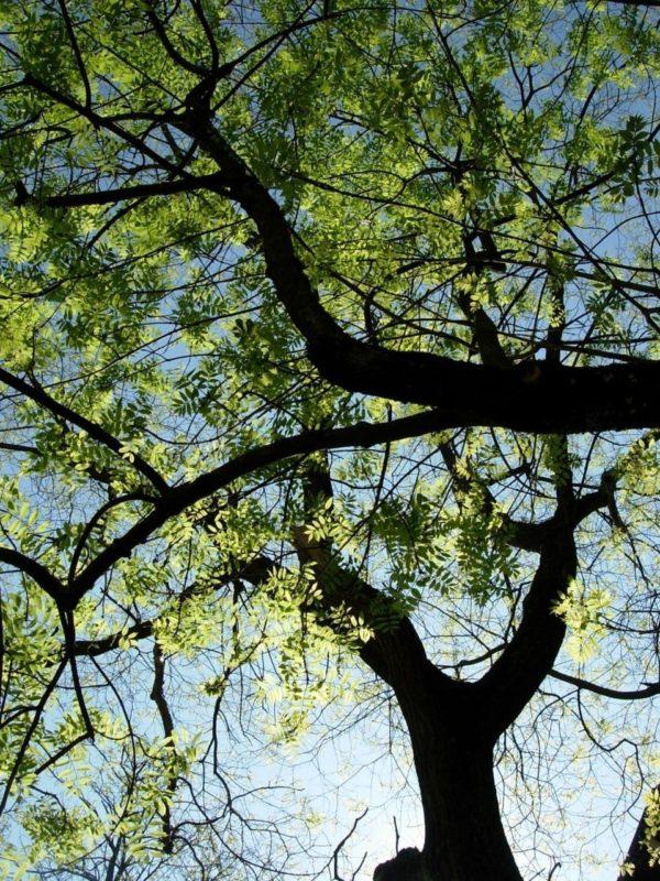 Esche - Baum der Energie
