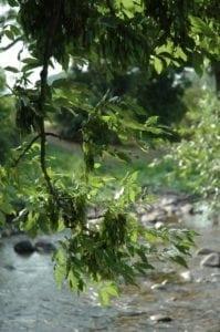 Esche Blätter Zweig - Baum der Energie