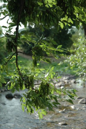 2505 0306 Esche Baum Der Energie Lebensbaum
