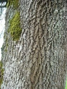 Esche Rinde - Baum der Energie