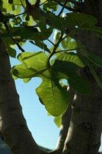 Feigenbaum Blätter - Baum des Einklangs