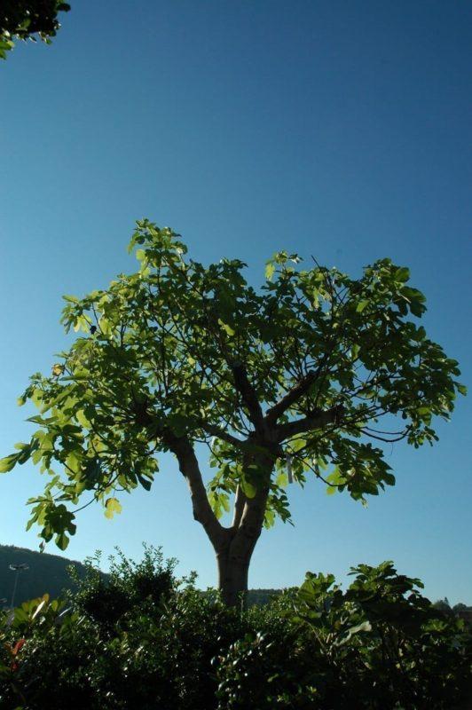 Feigenbaum - Baum des Einklangs