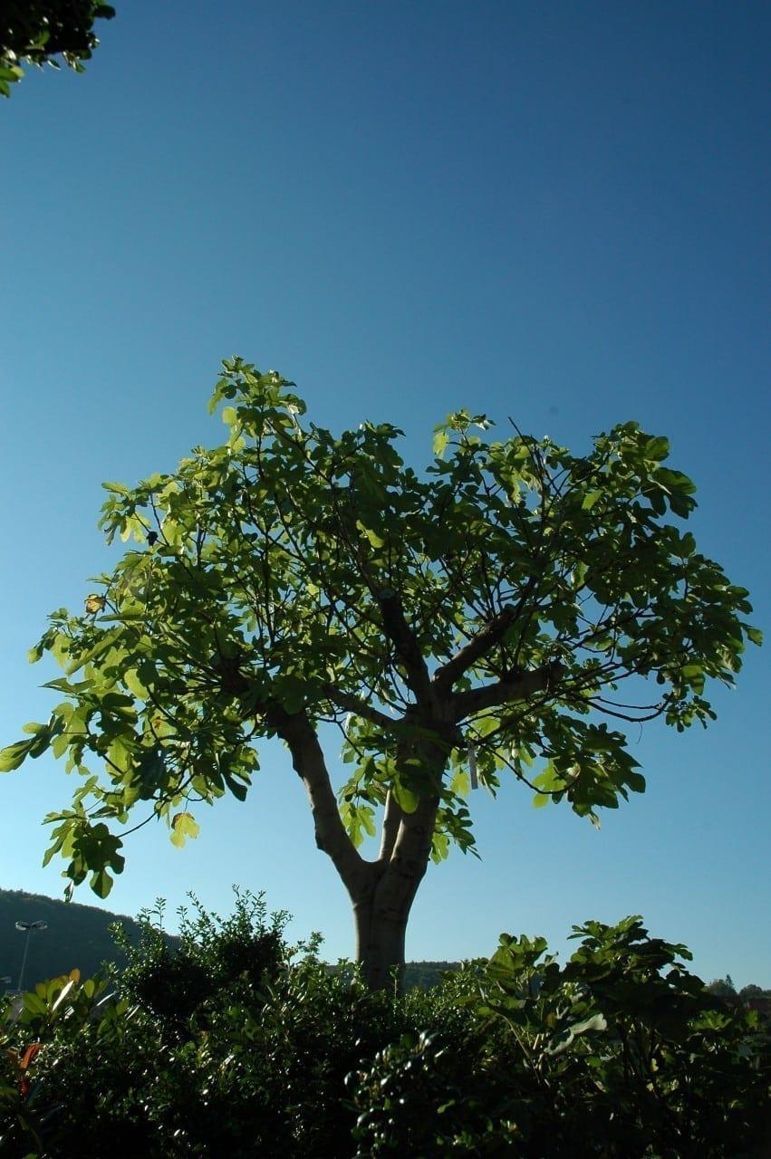 12.12.-21.12. Feigenbaum: Hochzeitsbaum des Einklangs