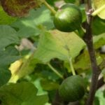 Feigenbaum Frucht - Baum des Einklangs