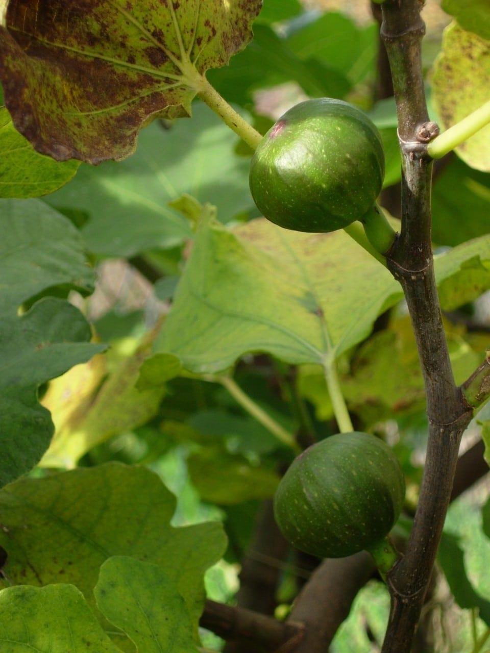 14.06.-23.06. Feigenbaum: Lebensbaum des Einklangs