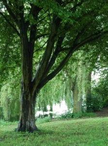 Hainbuche - Baum der Beharrlichkeit