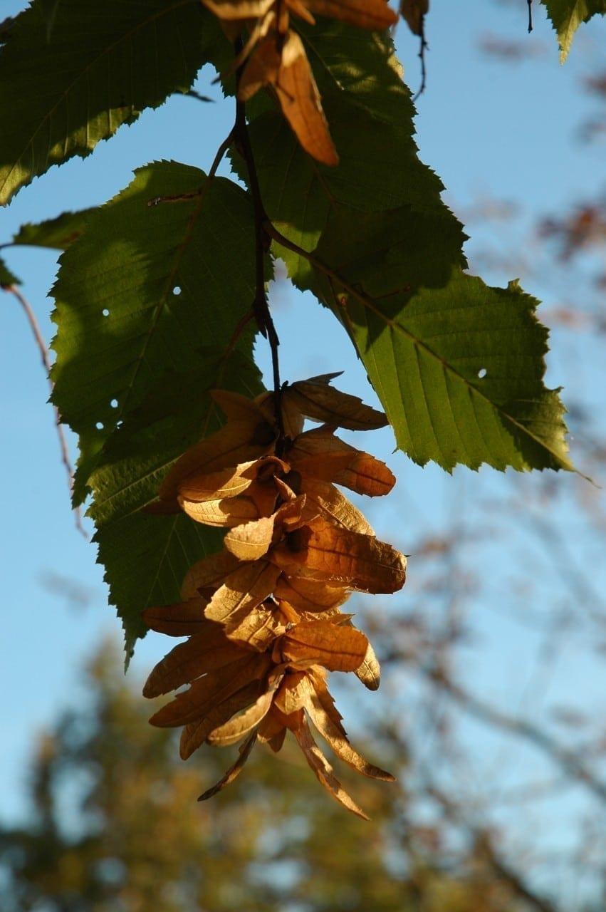 02.12.-11.12. Hainbuche: Hochzeitsbaum der Beharrlichkeit