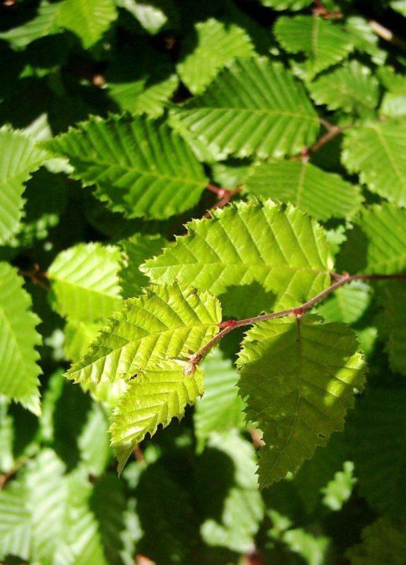 Hainbuche Blätter - Baum der Beharrlichkeit
