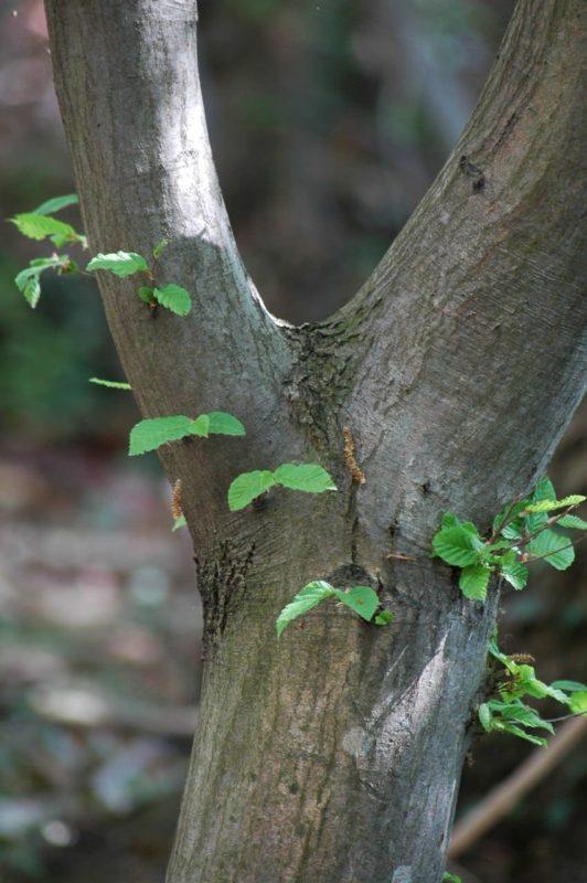 Hainbuche Stamm mit Blättern - Baum der Beharrlichkeit