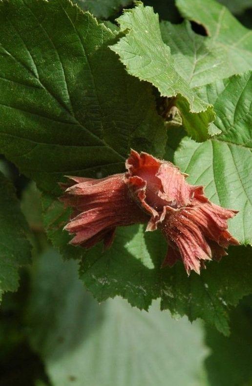 Haselnuss Frucht mit Blättern - Baum der Wahrheit