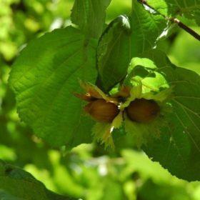 Haselnuss Frucht - Baum der Wahrheit
