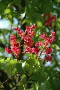 Kastanie Blüten - Baum der Offenheit