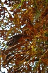 Kastanien Blätter im Herbst - Baum der Offenheit