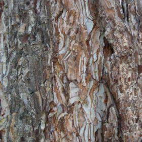 Kiefer Stamm mit Rinde: Baum der Geduld