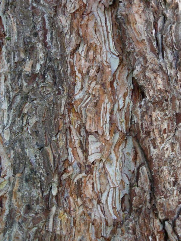 Kiefer Rinde Baum der Geduld
