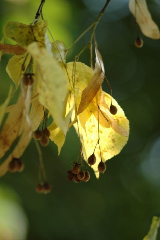 Linde Blätter - Baum der Harmonie
