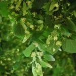Linde Blüten mit Blättern - Baum der Harmonie