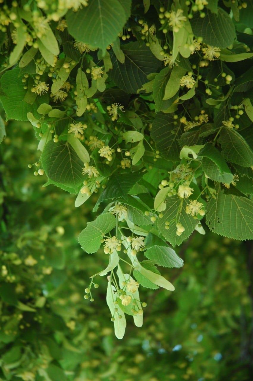 13.09.-22.09. Linde: Hochzeitsbaum der Harmonie