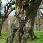 Linde Stamm mit Rinde - Baum der Harmonie