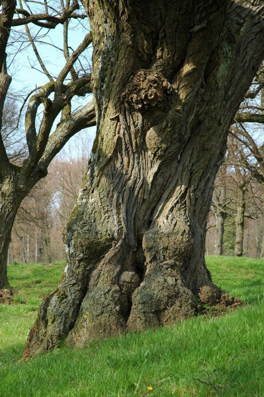11.03.-20.03. Linde: Baum der Harmonie