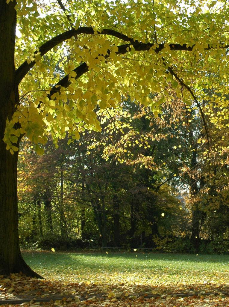 Linde Blätter im Herbst - Baum der Harmonie