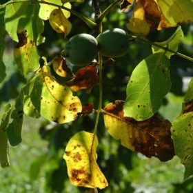 Nussbaum Blätter mit Frucht: Baum des Neubeginns