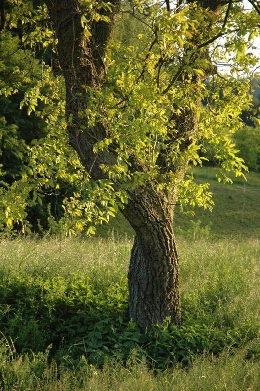 Nussbaum Stamm und Rinde - Baum des Neubeginns