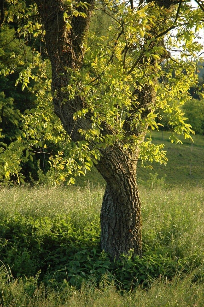 21.04.-30.04. Nussbaum: Hochzeitsbaum des Neubeginn