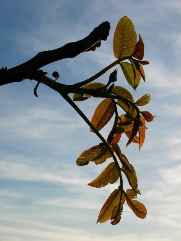 Nussbaum Blätter - Baum des Neubeginns
